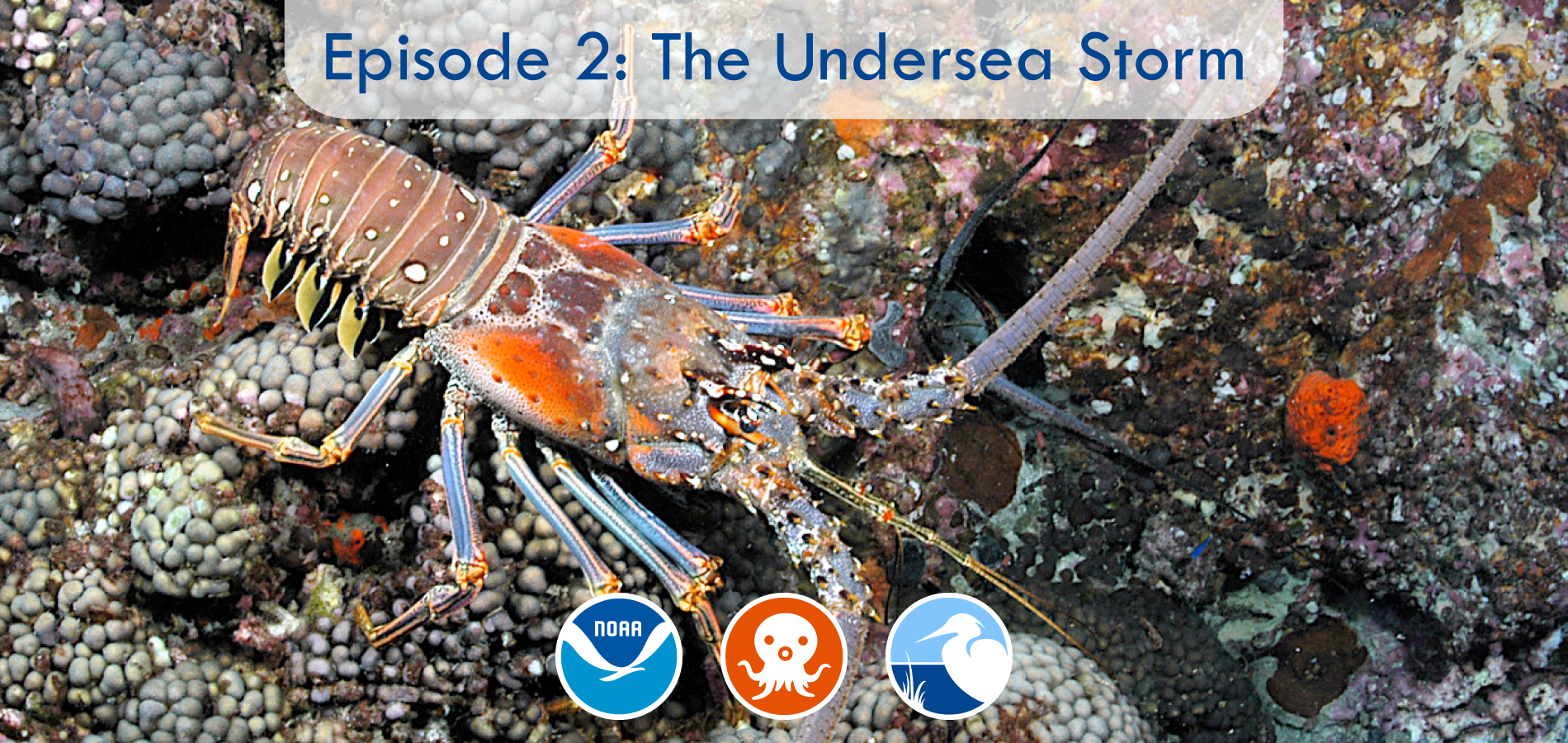 Episode 2: The Undersea Storm Learn from The Florida Aquarium about lobsters and how they fare during underwater stormslike the one featured in this episode ofThe Octonauts.