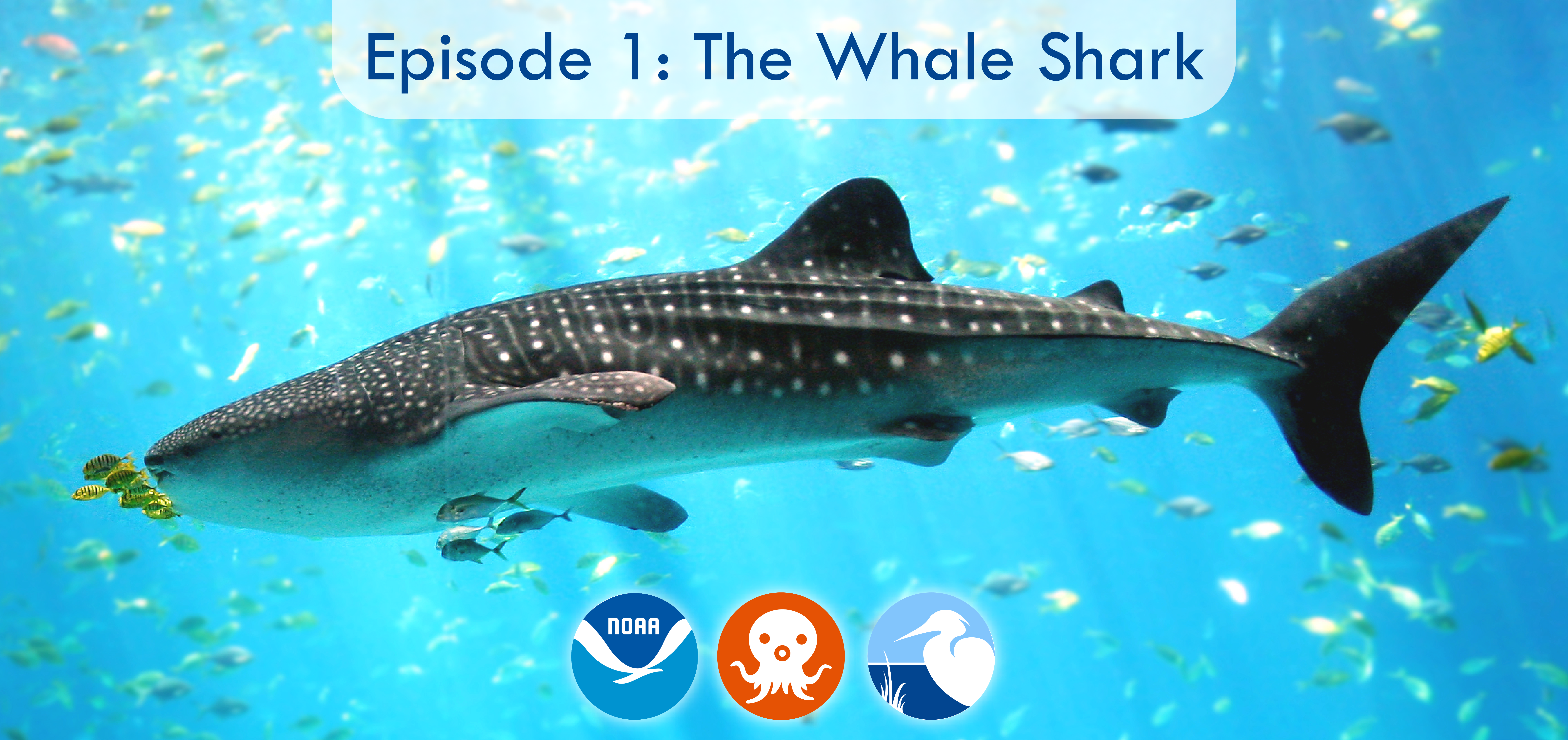 Episode 1: The Whale Shark Educators from the Aquarium of the Pacific answer our questions about the Octonauts' adventure with a whale shark and teach us how to help protect whale sharks in real life.
